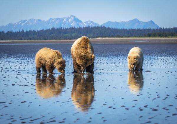 alaskan coastal bear ursus arctos