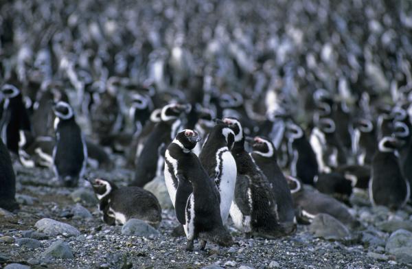magellanic penguins sphenicus magellanicus on isla