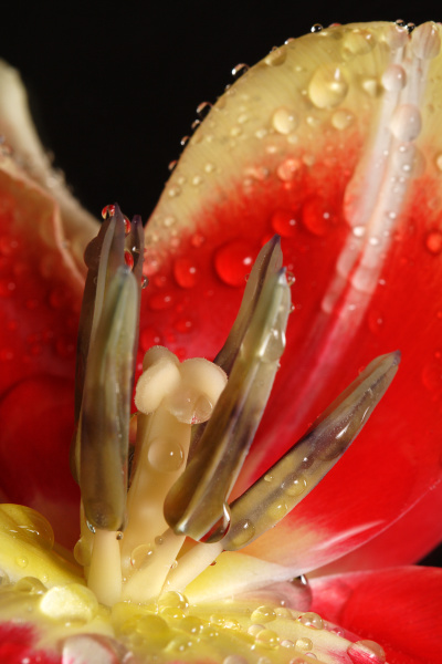 macro of a red tulip with
