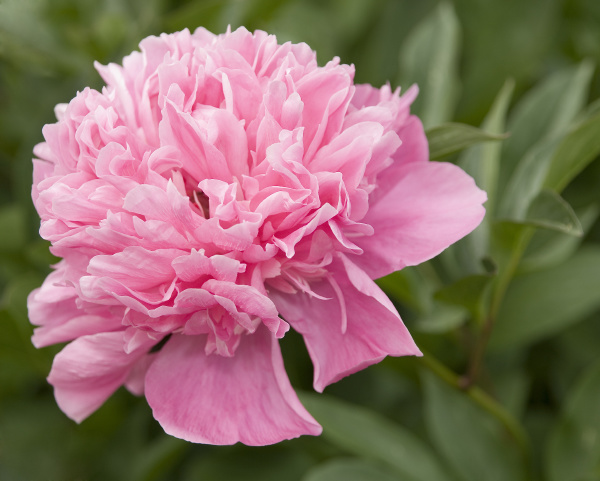pink bloods of a peony