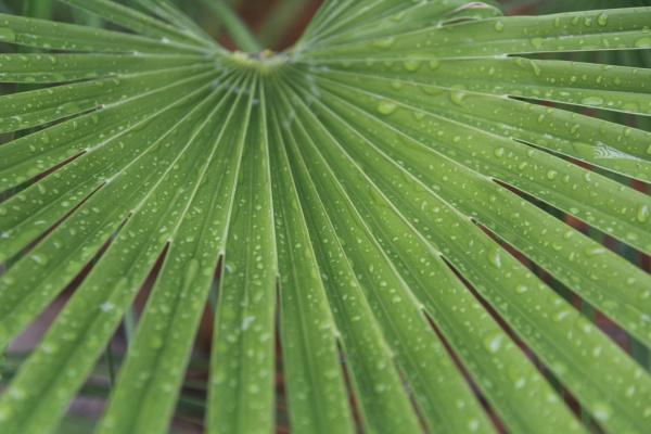 droplets on palm leaf