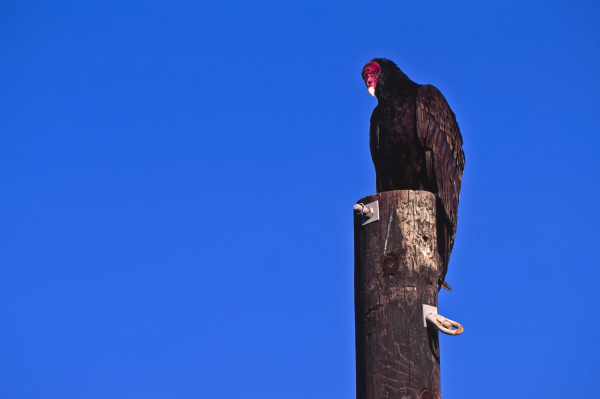 mexico turkey vulture perching on