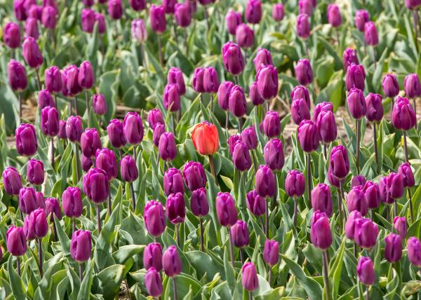 tulip fields in the bollenstreek