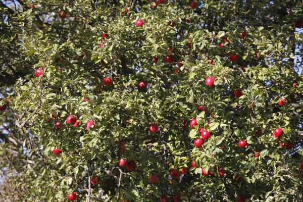 ripe apple apple tree