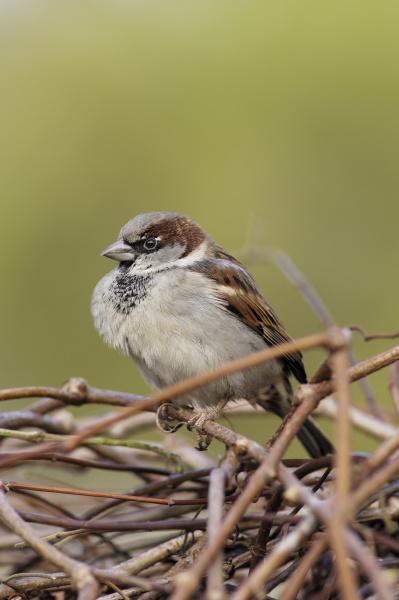 animal bird animals birds sparrow male