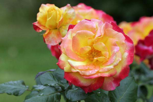 tea flower plant rose bloom blossom