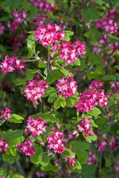 flowering red currant ribes sanguineum