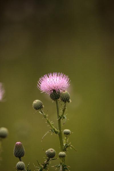 spiky purple thistle flower carduus horridulum