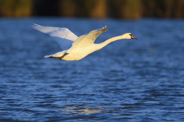 profile of a mute swan cygnus