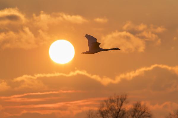 silhouette of mute swan cygnus olor