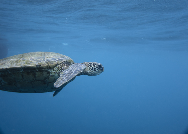 close up of turtle swimming undersea