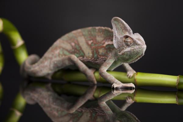 green chameleon on bamboo lizard