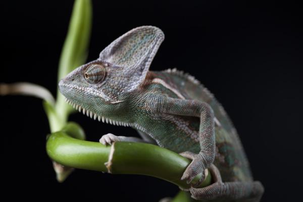 chameleon on bamboo on a black