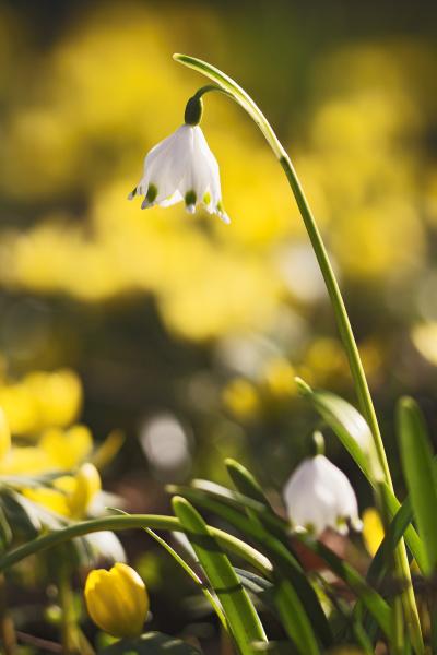 spring knot flower leucojum vernum