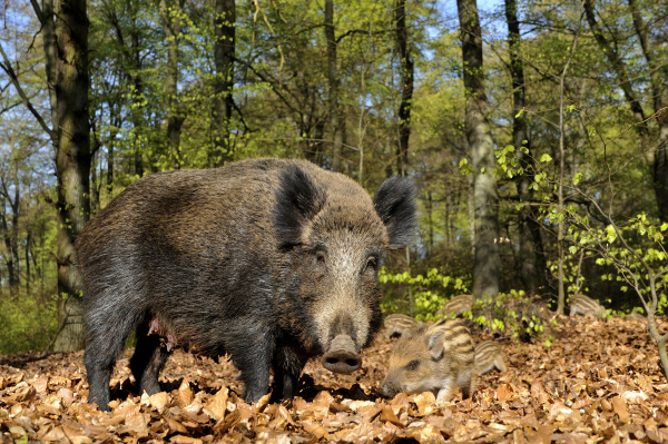 wild boar sus scrofa creek with