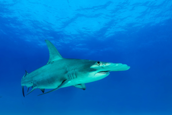 great hammerhead shark sphyrna mokarran