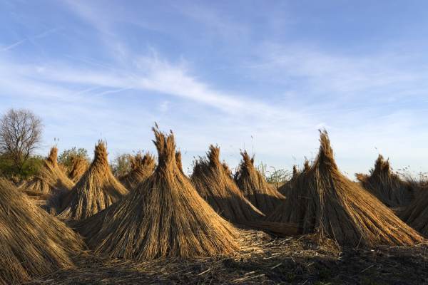 reed set up for drying seestrasse