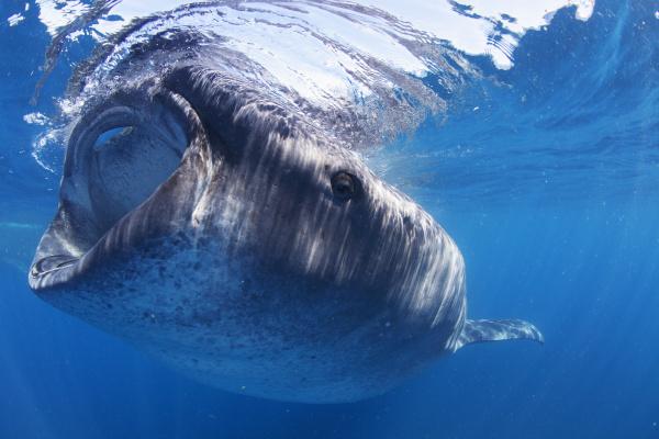 a whale shark rhincodon typus