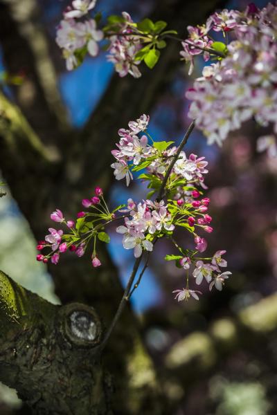 flowering crabapple blooms malus x scheideckeri