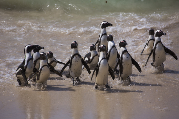 african penguin spheniscus demersus south africa