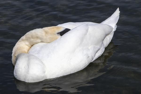 mute swan cygnus olor in hyde