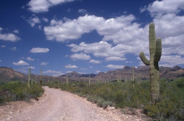 a stony road organ pipe cactus