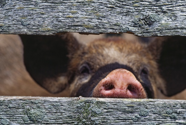 pigs snout through weathered fence boards