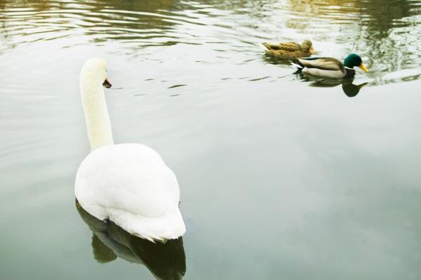 swan swimming by ducks