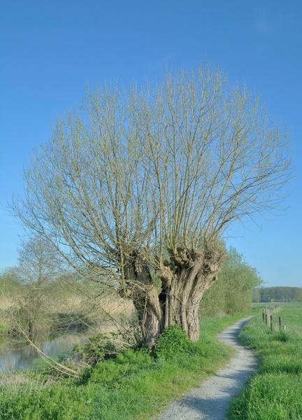 wicker salix viminalis traditionsbaum am niederrhein