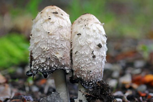 crested tintling or asparagus mushroom or