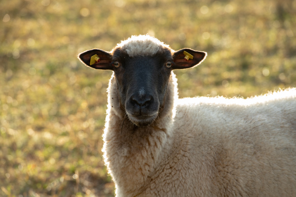 sheep with black and white wool