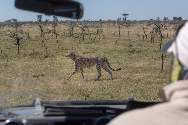 driver of truck watching cheetah through