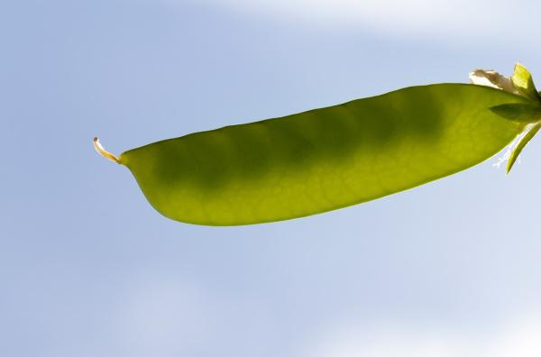 closed pea pod