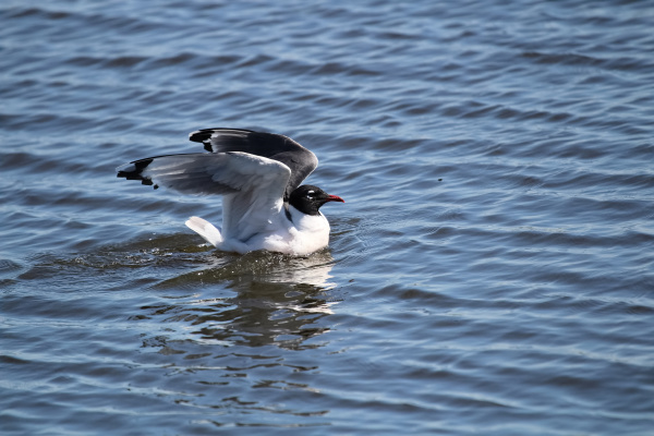 a franklins gull stretching its wings