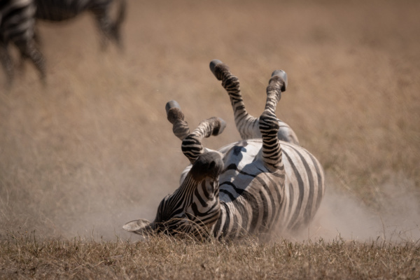plains zebra rolling on back in