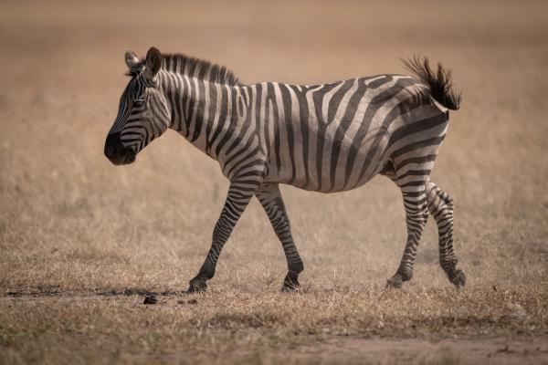 plains zebra walks across savannah swishing