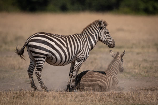 plains zebra stands over foal in