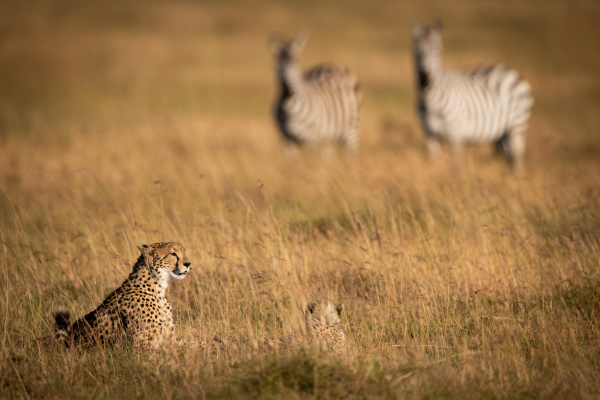 zebras watch cheetah and cub in