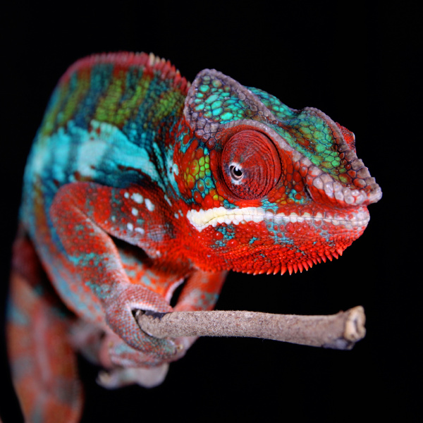 panther chameleon male