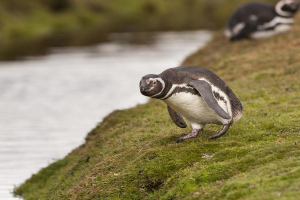 magellanic penguin spheniscus magellanicus saunders island