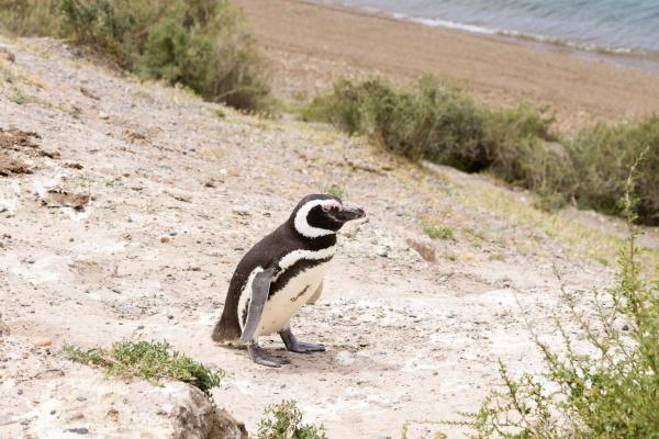 magellanic penguin caleta valdes penguin colony