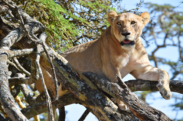 lioness in an acacia