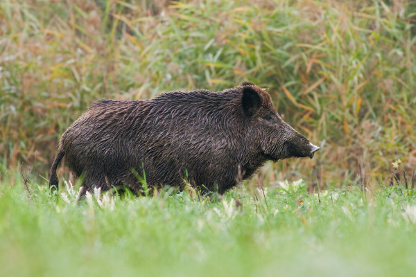 side view of adult wild boar