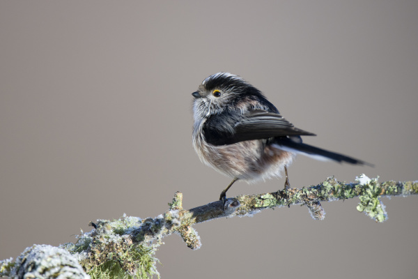 portrait of long tailed tit on