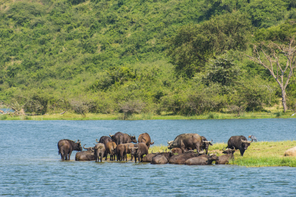 africa uganda cape buffaloes syncerus caffer