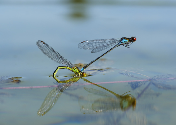 two red eyed damselflies in oviposition