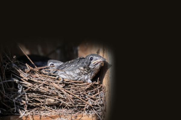 baby nestling eastern bluebird sialia sialis