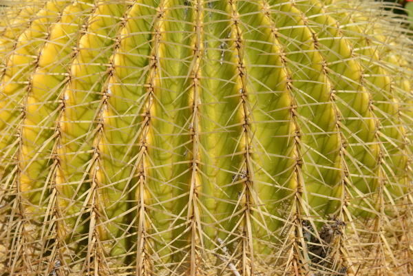 prickly cactus in the province of