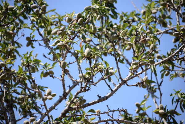 fresh almonds on tree in the