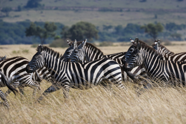 grant s zebras kenya